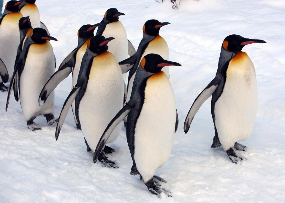 Walk Like A Penguin To Avoid Serious Injury On Icy Surfaces In Winter